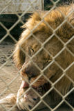 Time for a Bath. The king of the jungle licks himself clean Royalty Free Stock Photo