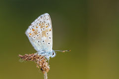 In the Time of the Butterflies. Blue Gossamer winged Butterfly in the evening sun with blurred background Stock Images
