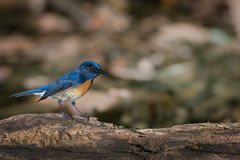 Time for catching prey.Active blue bird , Stock Photography