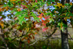 Time for change (Quercus rubra). An oak leaf changing color at the start of fall (Quercus rubra Royalty Free Stock Photo