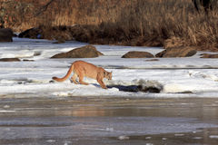 Time for a drink. Mountain lion getting drink at opening in frozen river in wintertime Royalty Free Stock Photo