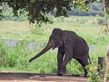 A disturbing elephant in sri lanka. Because it is time for the elephant`s craving . Tied with chains Stock Photos