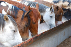 Time of feeding. Horses feeding at the trough on the farm Royalty Free Stock Image