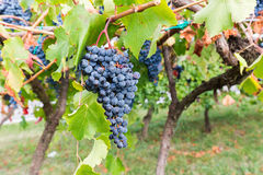 Time of grape harvest Royalty Free Stock Photography