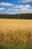 Time for harvest. Corn fields in Denmark (august Stock Photos