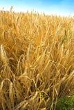 Time for harvest. Corn fields in Denmark (august Stock Images