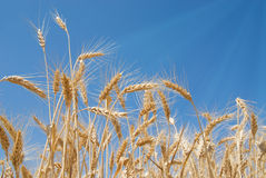 Time for harvest Royalty Free Stock Images