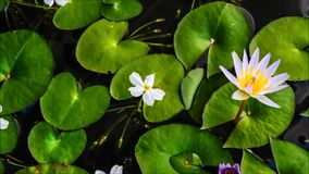 Time laps of water lily. In the water i maken an time laps of water lily stock video