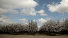 Time lapse Almond Blooming Trees stock video footage