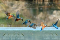 Time lapse azure kingfisher in flight. Time lapse of azure kingfisher in flight in Hangzhou, Chine Stock Images
