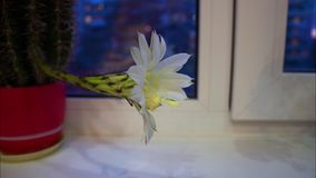 Time lapse: Beautiful cactus bloom. Time lapse Beautiful cactus bloom stock footage