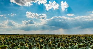 Time lapse of a beautiful cloudy sky over a sunflower field, beautiful summer landscape stock footage