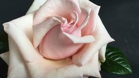 Time lapse big pink rose blossoing out  stock video footage