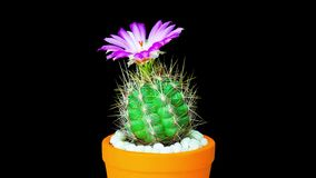 Time-lapse of cactus or cacti flowers. Time-lapse of beautiful cactus or cacti flowers which are in their colorful blooming on black background stock video