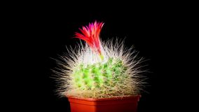 Time-lapse of cactus or cacti flowers. Time-lapse of beautiful cactus or cacti flowers which are in their colorful blooming on black background. Timelapse stock video