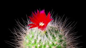 Time-Lapse of cactus flowers blooming. Time-Lapse of beautiful cactus or cacti flowers which are in their colorful blooming on black background. Timelapse stock footage