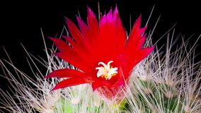 Time-lapse of cactus flowers blooming. Time-lapse of beautiful cactus or cacti flowers which are in their colorful blooming on black background. Timelapse stock video