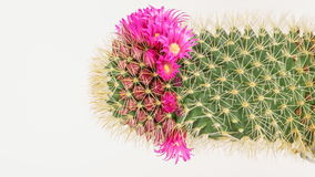 Time lapse of cactus with flowers stock video