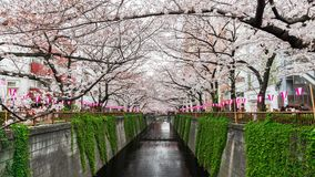 Time lapse of Cherry blossom festival in bloom at Meguro River, Tokyo, Japan. Time lapse of Cherry blossom festival in full bloom at Meguro River, Tokyo, Japan stock footage