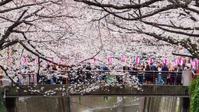 Time lapse of Cherry blossom festival in full bloom at Meguro River. Meguro River is one of the best place to enjoy it, Tokyo, Jap. TOKYO, JAPAN - MARCH 29, 2019 stock video