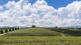 Time lapse of Choui Fong tea plantation it is a popular tourist destination of Chiang Rai Thailand. It is a hillside plantation with beautiful scenery stock video footage