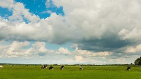 Time lapse of clouds and cows stock video