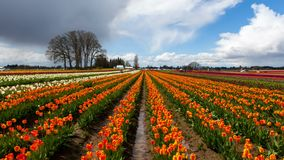 Time lapse of clouds over colorful tulips in Woodburn Or during Spring Season 4k. Time lapse movie of moving clouds and sky over colorful blooming tulips in stock video footage