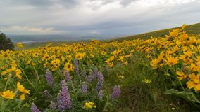 Time lapse of clouds over yellow Balsamroot and Lupine wildflowers in Columbia Hill State Park 4k. UHD 4k time lapse of moving clouds over field of yellow stock video