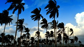 Time-lapse of coconut trees wind and clouds. Sky stock footage