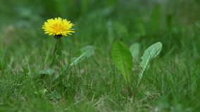 Time lapse of dandelion, grass and flowers closing Stock Image