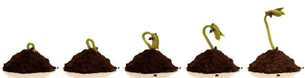 Time lapse de Bean Sprout Imágenes de archivo libres de regalías