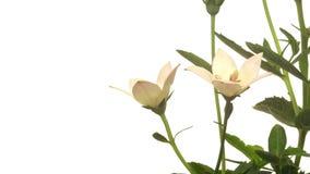Time lapse de la flor de Platycodon almacen de video