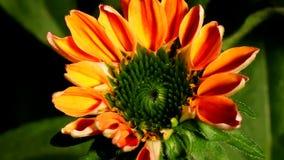 Time lapse de la flor del cono metrajes