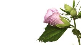 Time lapse de la flor del hibisco almacen de video