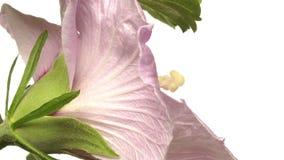 Time lapse de la flor del hibisco almacen de metraje de vídeo
