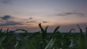 Time lapse del lapso de tiempo de la plantación rural del campo de maíz del maíz del verde del paisaje del campo debajo del cielo metrajes