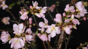 Time lapse floreciente de las flores rosadas de la almendra metrajes