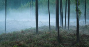 Time lapse of fog flowing through pine tree forest. Time lapse of fog flowing through spooky pine tree forest stock video