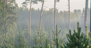 Time lapse of fog flowing through pine tree forest. During sunrise stock video