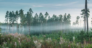 Time lapse of fog flowing through pine tree forest. During sunrise stock footage