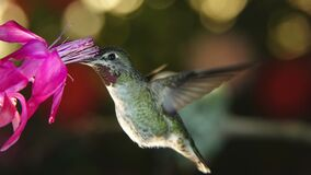 Time lapse footage of hummingbird on nest and visiting flower with pan and zoom