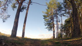 Time-lapse. A forest spring in spring. Windy. stock footage