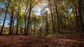 Time Lapse gelber Herbst Wald motorisierten Schiebers stock video footage