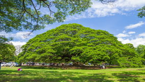 Time-lapse of Giant Monky Pod Tree with people visited. KANCHANABURI, THAILAND - June 24: Time-lapse of Giant Monky Pod Tree with people visited on June 24, 2017 stock footage