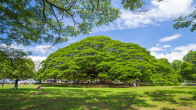 Time-lapse of Giant Monky Pod Tree with people visited. KANCHANABURI, THAILAND - June 24: Time-lapse of Giant Monky Pod Tree with people visited on June 24, 2017 stock video