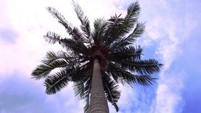 Time lapse of green palm tree on blue sky. Background. 1920x1080 stock footage