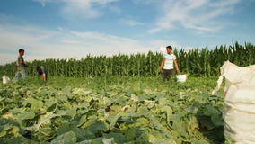 Time lapse of harvest helper looking for cucumbers on plantation field stock video