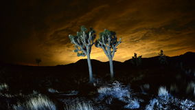 Time Lapse of Joshua Trees at Night stock video footage