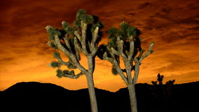 Time Lapse of Joshua Trees at Night. Time Lapse for Joshua Tree National Park stock footage