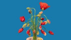 Time Lapse 4K dei fiori del papavero video d archivio